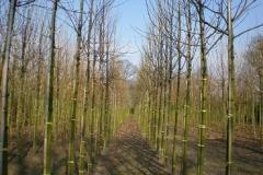 Acer pal Atropurpureum