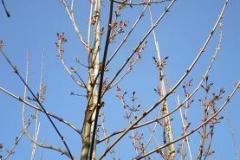 Acer plat Farlakes Green