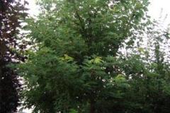 Acer sacherinum