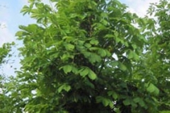 Aesculus hip Baumanii