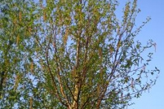 Betula albs Fascination