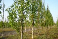 Betula pend Fastigiata