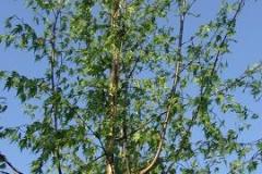 Betula pend Laciniata