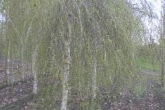 Betula pend Youngii