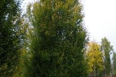Carpinus bet Fastigiata beveerd