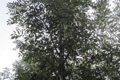Fraxinus ang Raywood