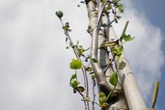 Liriodendron tulp Fastigiatum