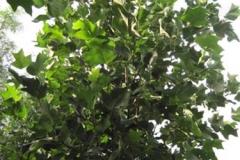 Liriodendron tulpiferia