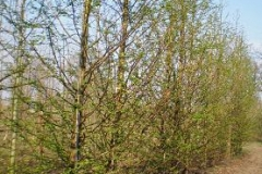 Metesequoia glyptostroboides