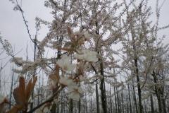 Prunus Trailblazer