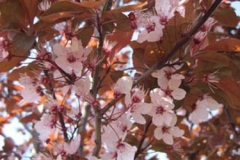 Prunus cer Nigra bloem