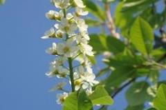 Prunus_padus_Watereri