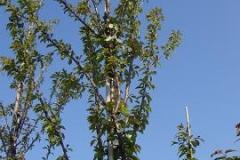 Prunus schmittii