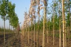 Prunus serr Amanogawa