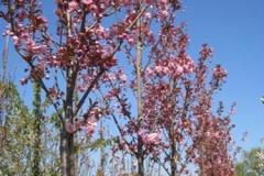 Prunus serr Kanzan