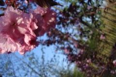 Prunus serr Royal Burgundy