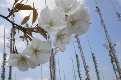 Prunus serr Sunset Boulevard