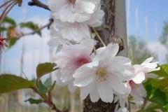 Prunus subh Autumnails