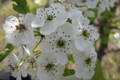 Pyrus call Chanticleer bloem