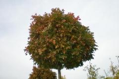 Quercus pal Green Dwarf