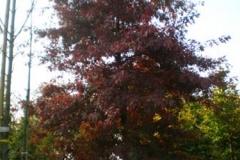 Quercus palustris Helmond