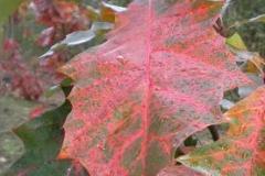 Quercus rubra herfstblad
