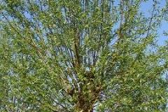 Salix alba Belders knot