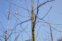 Sorbus intermedia Brouwers
