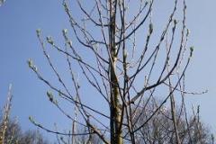 Sorbus latifolia Henk Vink