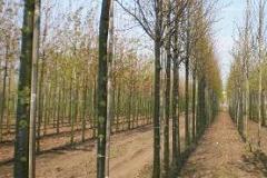 Tilia cord Greensprire